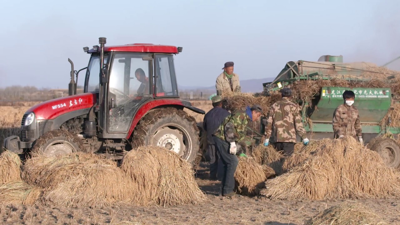 Farmers load hay on to a tractor in China.
